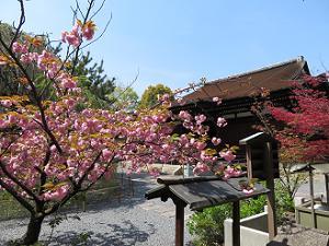 満開の関山桜