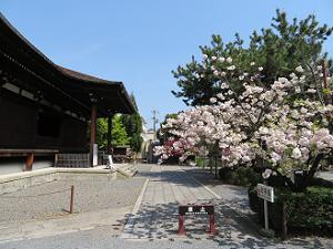 横から見る本堂と普賢象桜