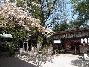 見ごろの八重桜