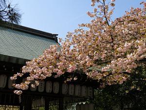 八重桜と拝殿