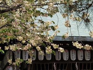 黄桜と拝殿