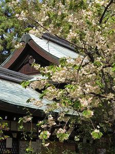 黄桜と本殿