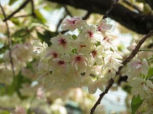 黄桜のアップ