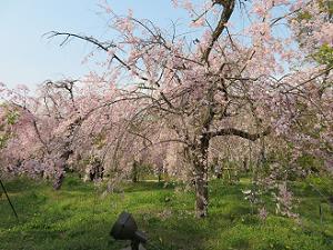 満開の八重紅枝垂れ桜