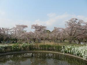 鏡池と桜林