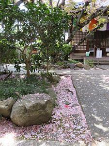境内に散る桜