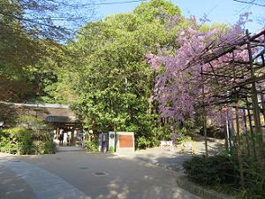 参道の八重紅枝垂れ桜