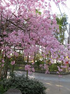 近くで見る八重紅枝垂れ桜