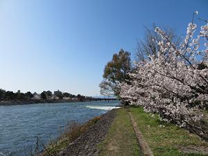 青空と宇治川と桜