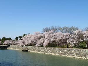 宇治川沿いの満開の桜