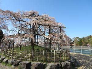 散りゆく枝垂れ桜