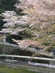 終わりが近づく桜