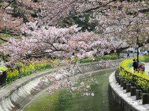 終わりかけの桜と菜の花