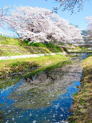 川面に映る桜並木