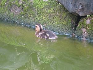 泳ぐカルガモの雛
