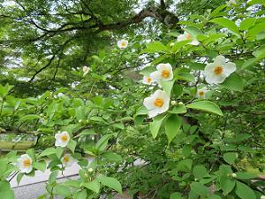 たくさんの夏椿の花