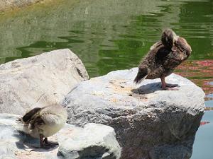 石の上で休む子ガモたち