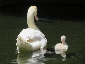 並んで泳ぐハクチョウの親子
