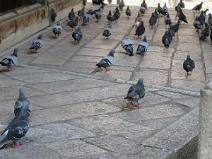 ハトの群れ