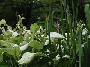 ハンゲショウの葉
