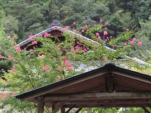 サルスベリと屋根