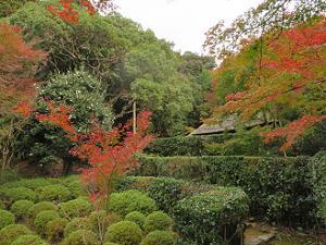 サツキの刈込と紅葉
