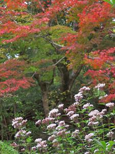 フジバカマと紅葉