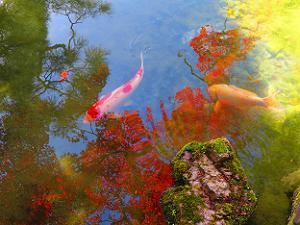 池に映るモミジと錦鯉