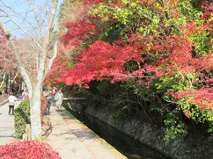 疏水の上の紅葉