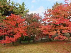 芝生の紅葉