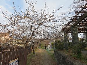 公園の河津桜