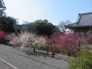 満開の梅と金堂