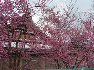 塀際のオカメ桜