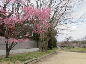 鴨川のオカメ桜