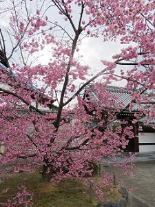 山門前のオカメ桜