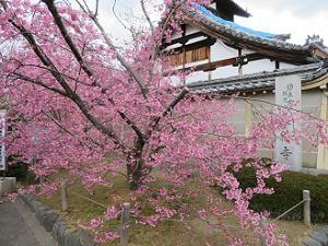 オカメ桜と庫裡