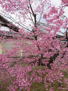 見ごろのオカメ桜