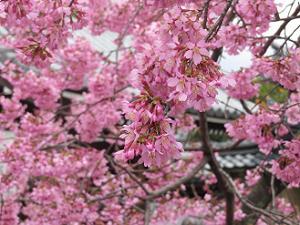 オカメ桜のアップ