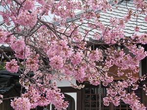 オカメ桜と地蔵堂