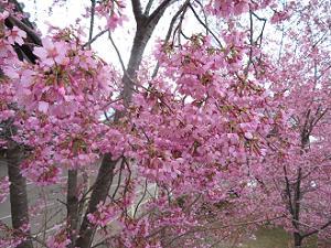 花いっぱいのオカメ桜