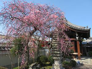 枝垂れ梅と山門