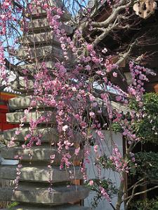 枝垂れ梅と石塔