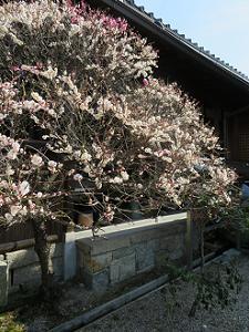 源平咲きの梅の下側