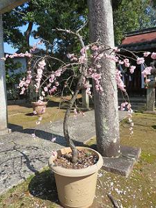 ピンク色の枝垂れ梅