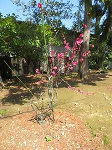 地面に植えられた紅梅