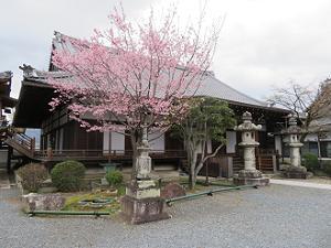 蜂須賀桜と大方丈