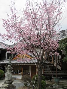 蜂須賀桜と寺務所