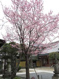 蜂須賀桜と阿弥陀堂