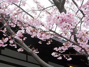蜂須賀桜のアップ