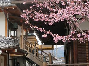 蜂須賀桜と大方丈の廊下